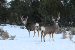 2 mule deer bucks Stock Images