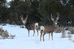 2 mule deer bucks. 2 colorado bucks in snow stock images