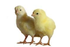 2 nestlings Стоковое фото RF