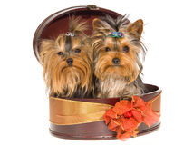 2 nette Yorkie Welpen, die innerhalb des runden Geschenkkastens sitzen Stockfotografie