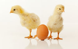 2 newborn цыплят с яичком Стоковые Фото
