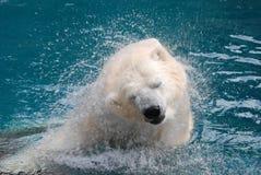 2 niedźwiedź biegunowy drży Zdjęcia Royalty Free