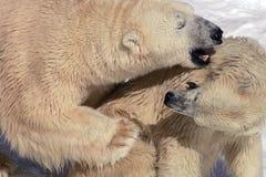 2 niedźwiedzi uścisk Obraz Royalty Free