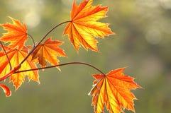 2 nya leaves Royaltyfria Bilder