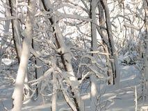 2 objętego śnieżnego drzewa Zdjęcie Royalty Free