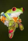 2 oczu żaby czerwieni drzewo Obraz Royalty Free