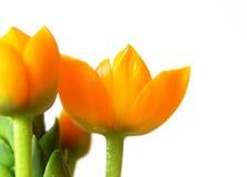 2 orange blomningar royaltyfri fotografi