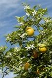 2 orange blomningar Arkivfoton