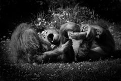 2 orangutans παιχνίδι Στοκ Φωτογραφία