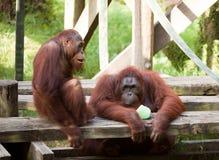 2 orangutans Стоковое Изображение
