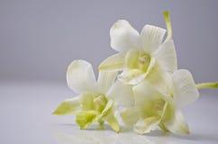 2 orchid τρία λευκό Στοκ εικόνα με δικαίωμα ελεύθερης χρήσης