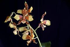 2 orchideę rossioglosum Obrazy Royalty Free