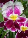 2 orchidea Zdjęcie Stock