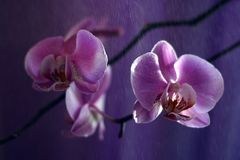 2 orchidea Fotografia Royalty Free