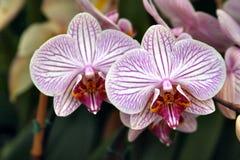 2 orchids ομορφιάς Στοκ φωτογραφία με δικαίωμα ελεύθερης χρήσης