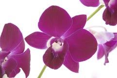 2 orchids Royaltyfria Bilder