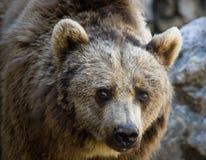 2 orso Obraz Royalty Free