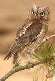 2 owlscops Royaltyfri Foto