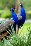2 påfåglar royaltyfria bilder