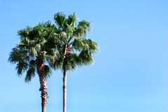 2 palms. Two palm trees against the blue sky Stock Image