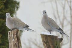 2 palomas en invierno, en una ramificación. Fotografía de archivo libre de regalías