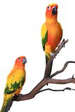 2 papagaios de Sun Conure em uma filial natural Foto de Stock Royalty Free