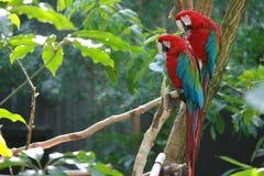 2 papagaios que sentam-se em uma filial Imagem de Stock