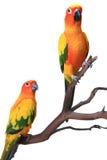 2 Papageien Sun-Conure auf einem natürlichen Zweig Lizenzfreies Stockfoto
