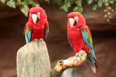 2 papegaaien Royalty-vrije Stock Afbeelding