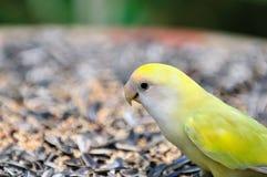 2 papegojaserie Royaltyfri Foto
