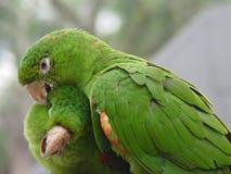 2 par green papegojan Royaltyfria Bilder