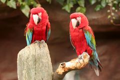 2 parrots. On a perch Royalty Free Stock Image