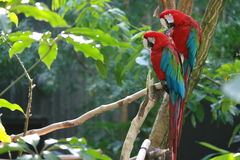 2 parrots sitting on a branch. 2 red  parrots on a branch Stock Image