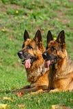 2 pastores alemanes Foto de archivo libre de regalías