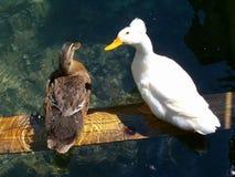 2 patos Foto de archivo libre de regalías