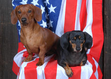 2 Patriotic Dachshunds. Red and black/tan dachshund on flag royalty free stock photography