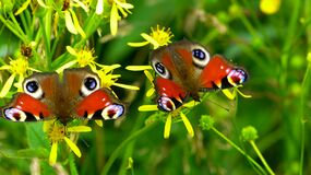 2 Peacock Butterflies Perched on Yellow Flower in Close Up Photography during Daytime Royalty Free Stock Image