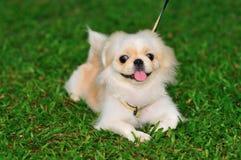 2 pekingese小狗 库存照片