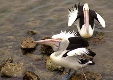 2 Pelicans Royalty Free Stock Images