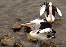 2 pelikanen Royalty-vrije Stock Afbeeldingen