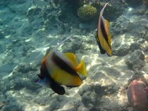 2 pennant fish. Swimming in the red sea Royalty Free Stock Image