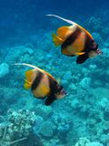 2 pennant fish. Swimming in the red sea Stock Photos