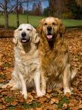 2 perros perdigueros de oro en el campo de las hojas de la caída Imagen de archivo libre de regalías