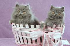 2 Persian kittens in pink basket. Cute Persian kittens sitting inside pink gift basket on pink background Royalty Free Stock Photography