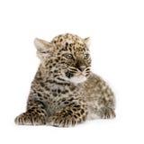 2 persiska gröngölingleopardmånader Arkivfoton