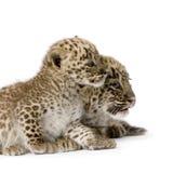 2 persiska gröngölingleopardmånader Fotografering för Bildbyråer