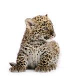 2 persiska gröngölingleopardmånader Arkivbilder
