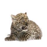 2 persiska gröngölingleopardmånader Arkivfoto