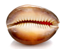 2 piękny seashell Fotografia Stock