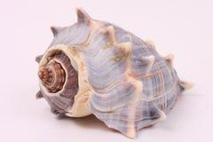 2 piękny seashell obraz stock